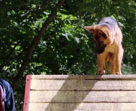 Курс послушания для собаки